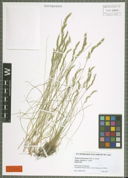 Festuca bauzanina (Pils) S.Arndt subsp. rhaetica S.Arndt