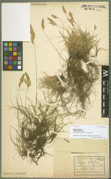 Festuca rubra L. subsp. litoralis (G.Mey.) Auquier