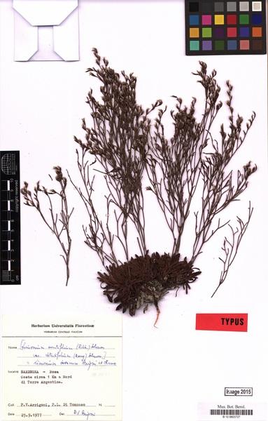 Limonium acutifolium (Rchb.) Salmon subsp. bosanum (Arrigoni & Diana) Arrigoni