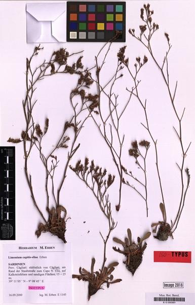 Limonium capitis-eliae Erben