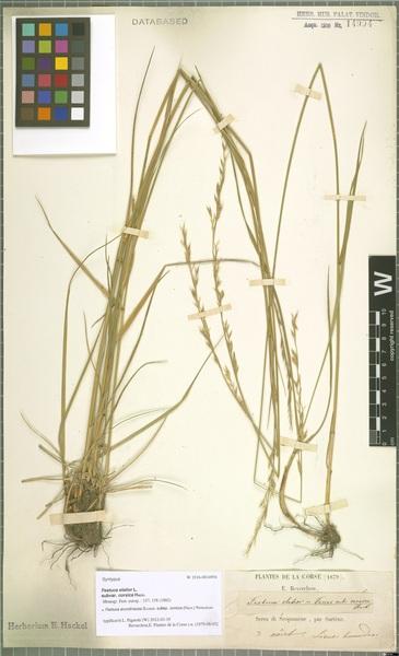 Lolium interruptum (Desf.) Banfi, Galasso, Foggi, Kopecký & Ardenghi subsp. corsicum (Hack.) Banfi, Galasso, Foggi, Kopecký & Ardenghi