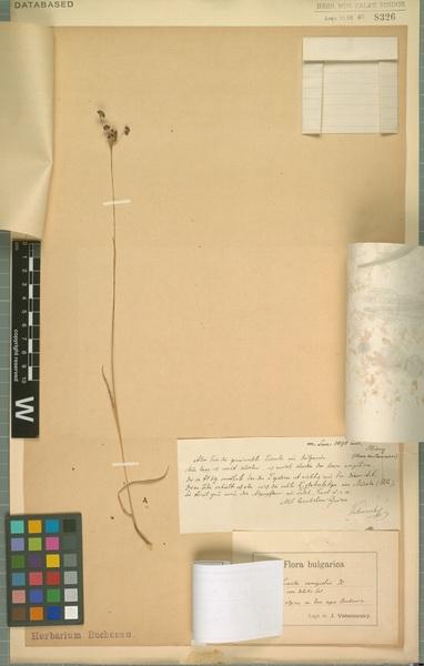 Luzula taurica (V.I.Krecz.) Novikov