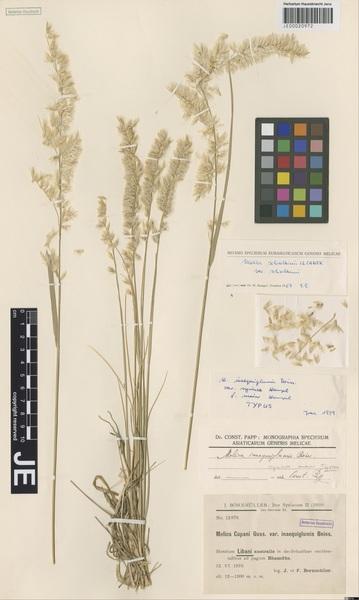 Melica persica Kunth subsp. schischkinii (Iljinsk.) W.Hempel