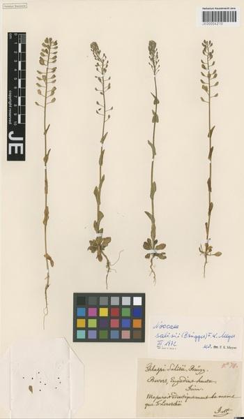 Noccaea salisii (Brügger) F.K.Mey.