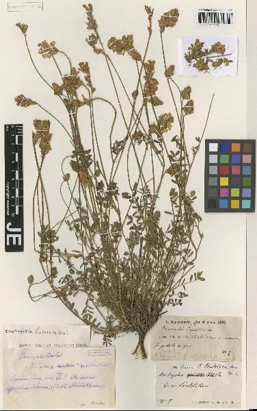 Onobrychis alba (Waldst. & Kit.) Desv. subsp. pentelica (Hausskn.) Nyman