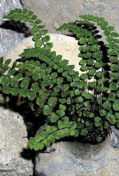 Asplenium adulterinum Milde subsp. presolanense Mokry, Rasbach & Reichst.