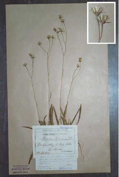 Hieracium geilingeri Zahn subsp. geilingeri