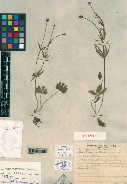 Ranunculus fiorii Pignatti