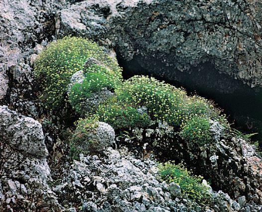 Saxifraga presolanensis Engl.