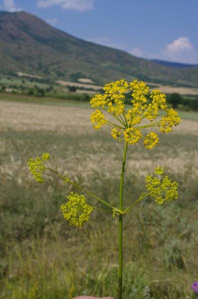 Opopanax hispidus (Friv.) Griseb.