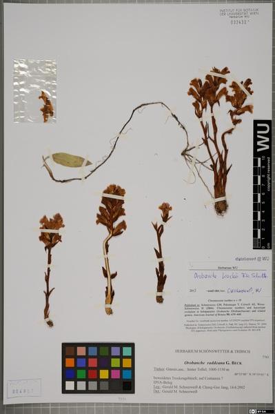Orobanche centaurina Bertol.