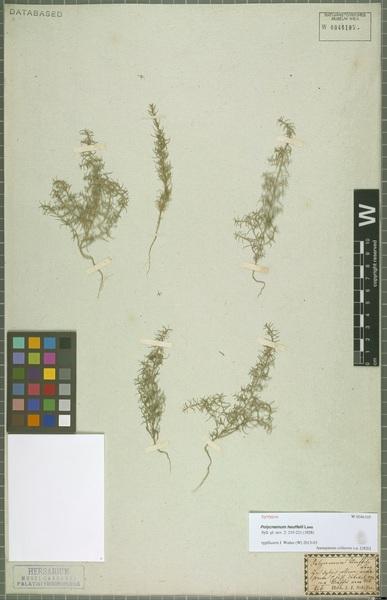 Polycnemum heuffelii Láng