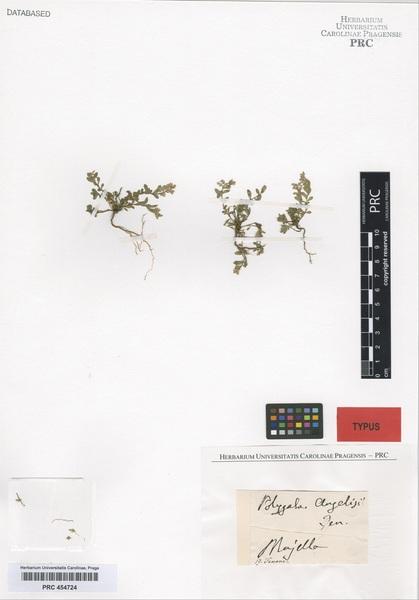 Polygala alpestris Rchb. subsp. angelisii (Ten.) Nyman