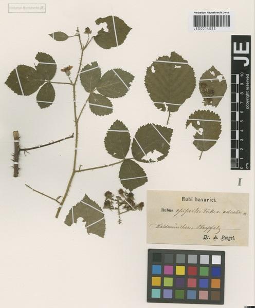Rubus epipsilos Focke