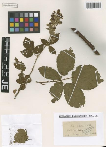 Rubus silesiacus Weihe