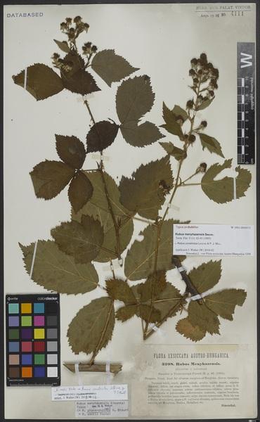 Rubus constrictus Lefèvre & P.J.Müll.