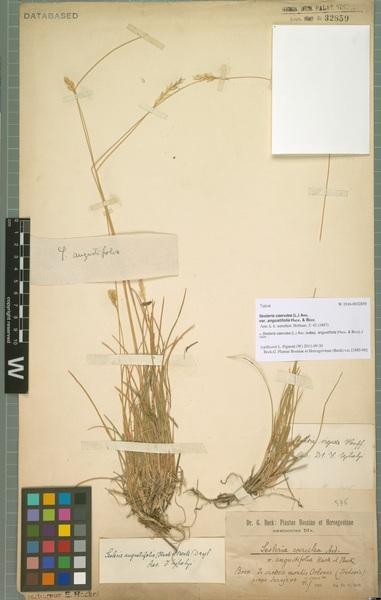 Sesleria caerulea (L.) Ard. subsp. angustifolia (Hack. & Beck) Jogan