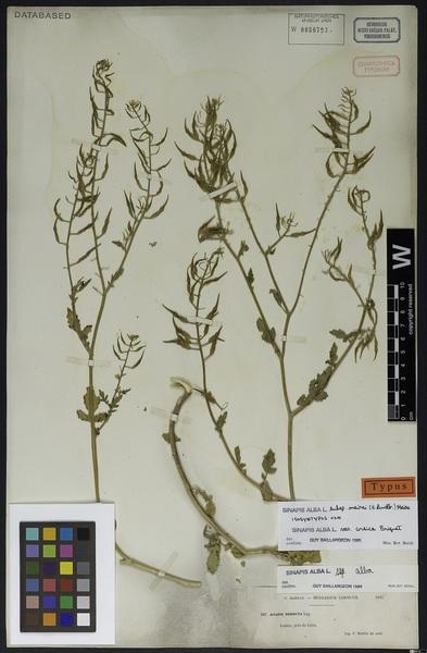 Sinapis alba L. subsp. mairei (H.Lindb.) Maire