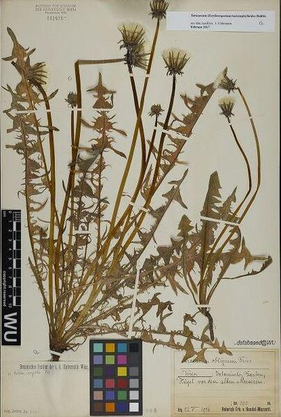 Taraxacum lacistophylloides Dahlst.