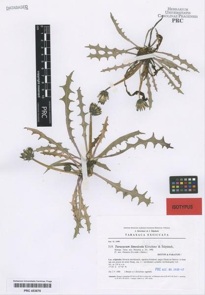 Taraxacum limosicola Kirschner & Štěpánek