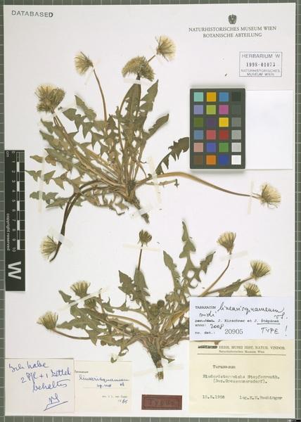 Taraxacum linearisquameum Soest