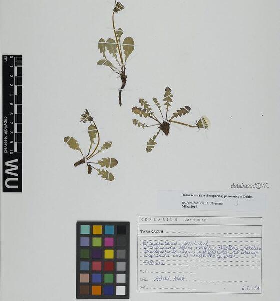 Taraxacum parnassicum Dahlst.