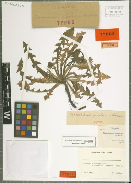 Taraxacum pedemontanum Soest
