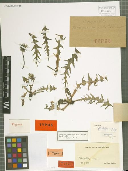 Taraxacum piluliferum G.E.Haglund