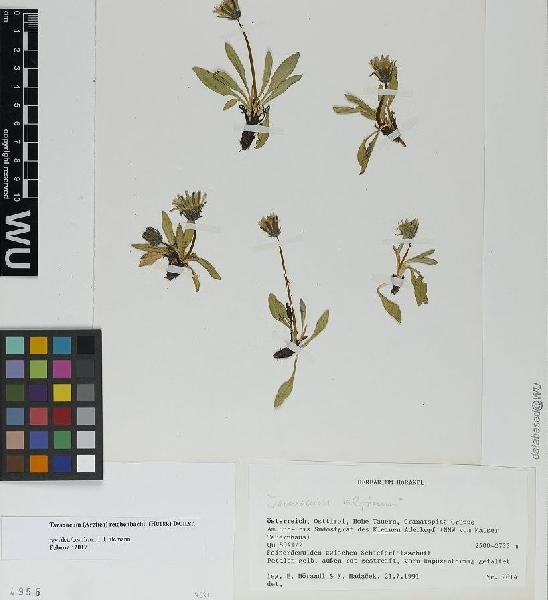 Taraxacum reichenbachii (Huter) Dahlst.