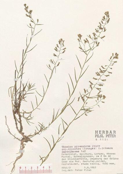 Thesium pyrenaicum Pourr. subsp. grandiflorum (DC.) Hendrych
