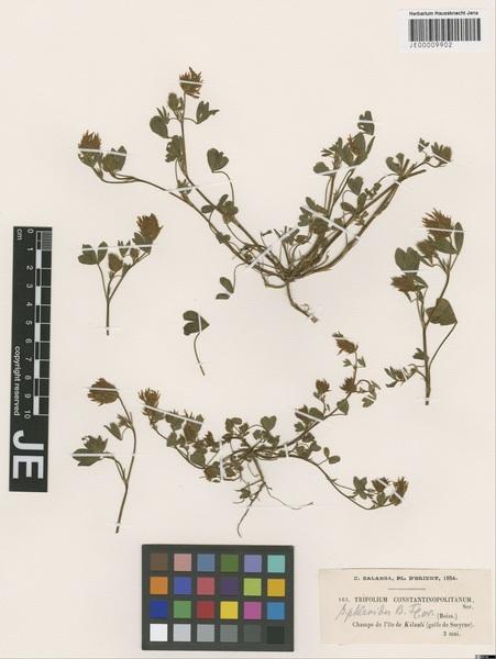 Trifolium constantinopolitanum Ser.