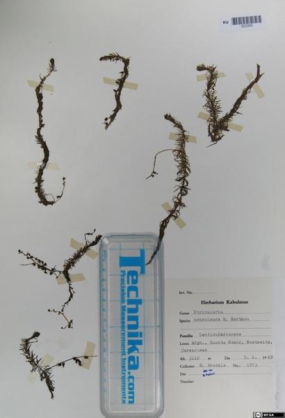 Utricularia ochroleuca R.W.Hartm.