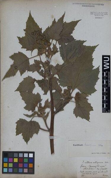 Xanthium strumarium L. subsp. brasilicum (Vell.) O.Bolòs & Vigo