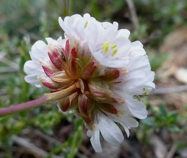 Armeria sardoa Spreng. subsp. sardoa