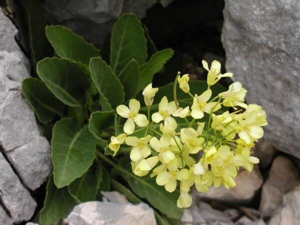 Brassica tyrrhena Giotta, Piccitto & Arrigoni