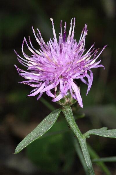 Centaurea aetaliae (Sommier) Bég.