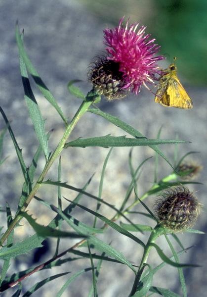 Centaurea bugellensis (Soldano) Soldano