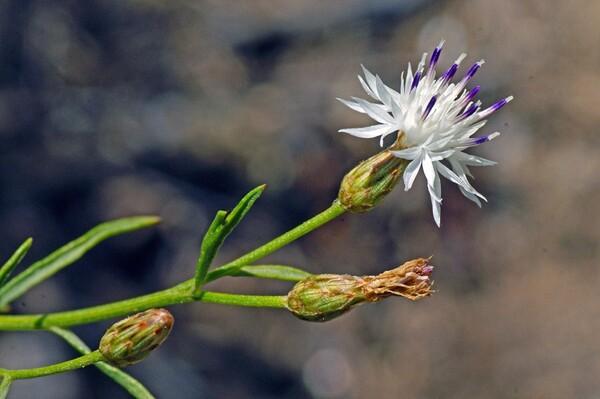 Centaurea magistrorum Arrigoni & Camarda