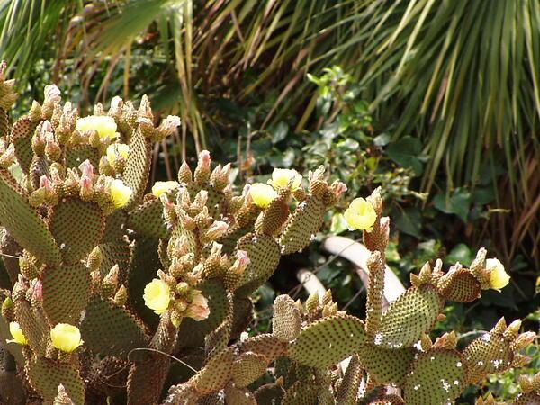 Opuntia microdasys (Lehm.) Pfeiff.