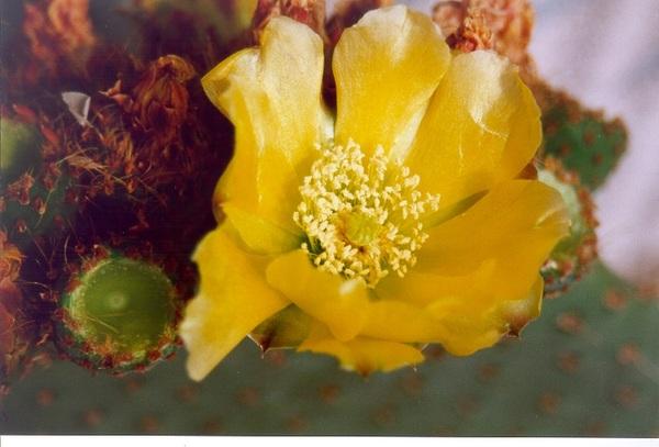 Opuntia spinulifera Salm-Dyck