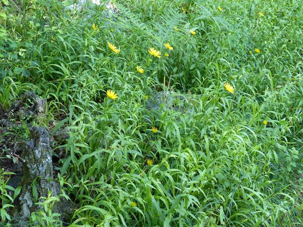 Buphthalmum salicifolium L.