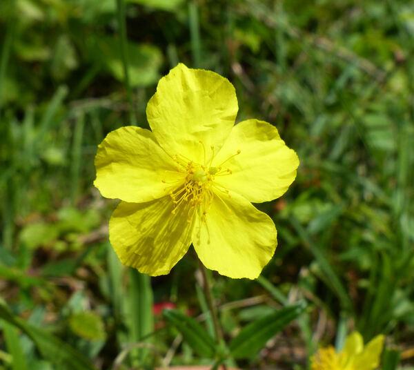 Helianthemum nummularium (L.) Mill. subsp. obscurum (Čelak.) Holub