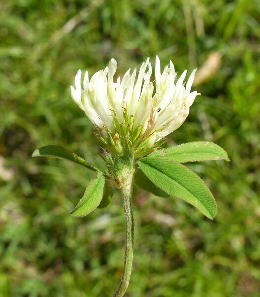 Trifolium ochroleucon Huds.