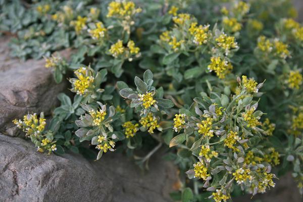 Odontarrhena tavolarae (Briq.) L.Cecchi & Selvi