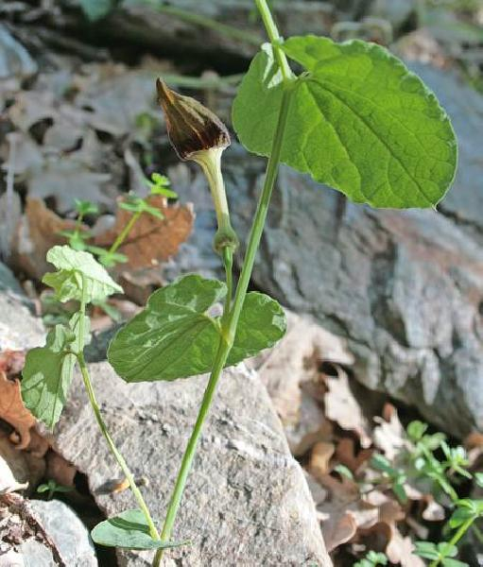 Aristolochia rotunda L. subsp. insularis (E.Nardi & Arrigoni) Gamisans