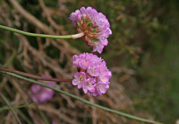 Armeria sardoa Spreng. subsp. genargentea Arrigoni