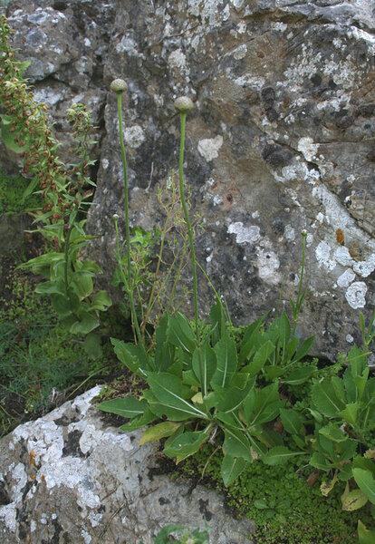 Cephalaria mediterranea (Viv.) Szabó