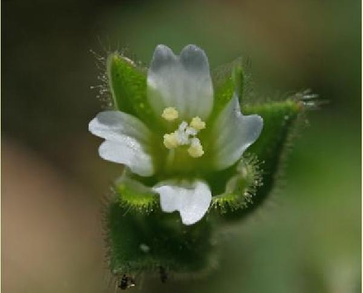 Cerastium diffusum Pers. subsp. diffusum