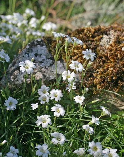 Cerastium supramontanum Arrigoni