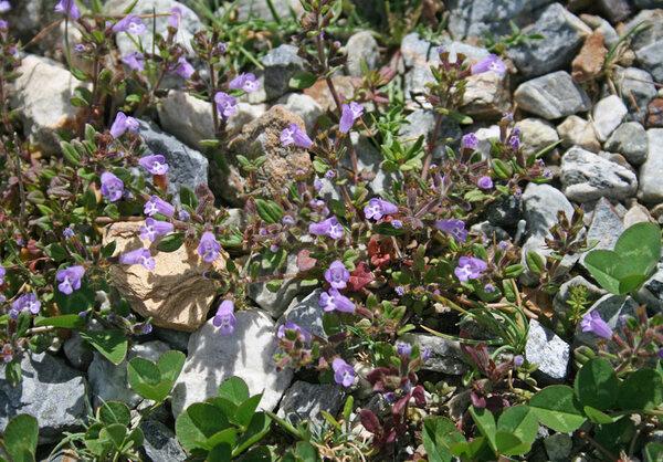 Clinopodium sardoum (Asch. & Levier) Peruzzi & F.Conti
